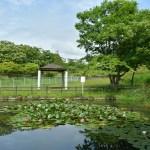 白鳥台北公園のスイレン 2019