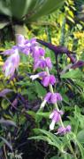lil purple fuzzies