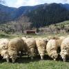 Каракачанска овца