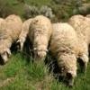 Среднородопска овца