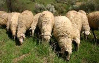 srednorodopska ovca2