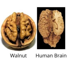 Resemblance of wlnut and human brain