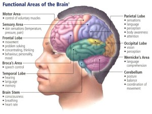 Parts of Brain and their functions