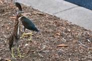 Green Heron chicks