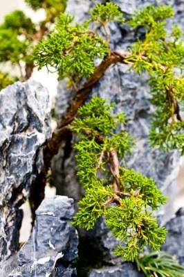 Evergreen bonsai