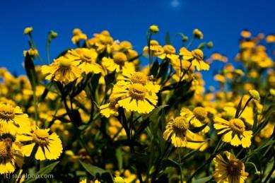 Cheery yellow flowers II