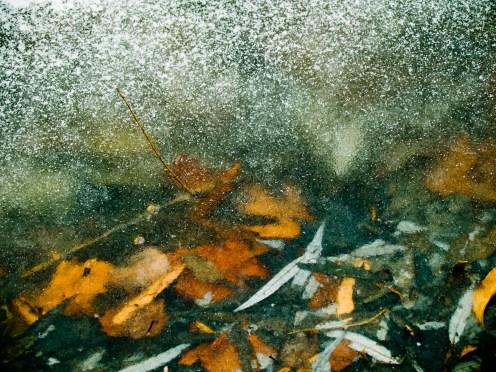 Leaves under ice cover, lake, Grosvenor Park.