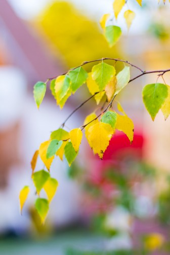 Yellow and green birch leaves