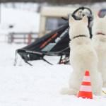 Hunde im Schnee vor dem Schlittenhuderennen
