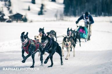 Schlittenhunderennen Lenk: Hundegespann im Schnee