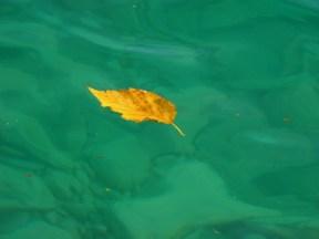 Ash leaf floating on Torch Lake