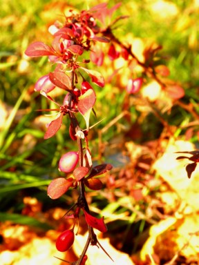 Berries on my barberry
