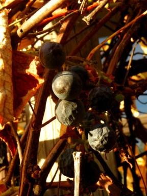 Wrinkled old grapes, still on the vine