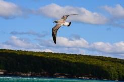 Grand Island gull
