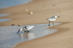 Slightly out-of-focus sandpipers that would NOT hold still - they accompanied us down a long stretch of sand