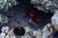 black and white polka dotted reef fish-2