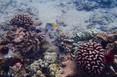 chasing striped reef fish-2