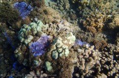 purple and green coral