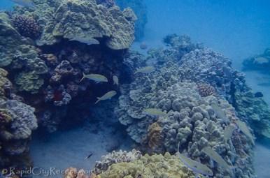schooling reef fish-2