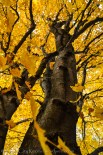 Yellow fall maple (this one I know!)