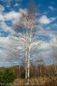 leafless white birch