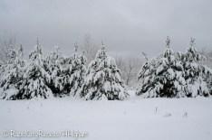 Snow-draped pines