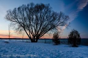 Alden tree