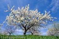 cherry tree from below