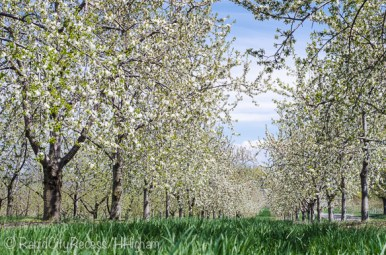 early orchard blooms