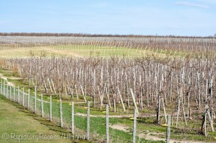 early spring vineyard