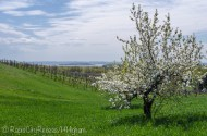 Power Island through cherry tree
