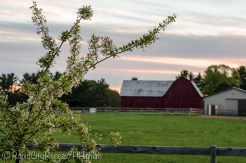 white crab apple and barn