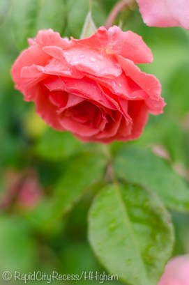 raindrops on roses-2