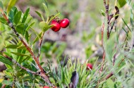 red dune berries