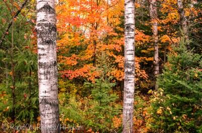 fall birch-2