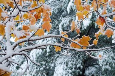 maple on pine