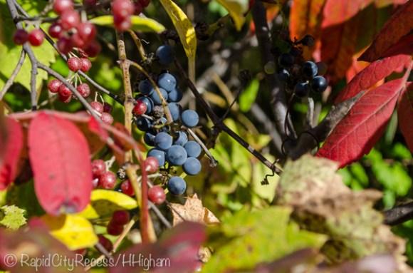 wild grapes and sumac