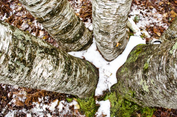 gnarly birch-2
