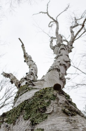 gnarly birch-3