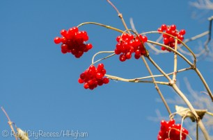 red berries on blue-2