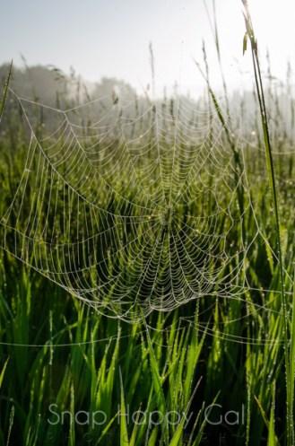 spiderweb in tall grass