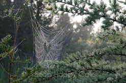 spiderweb on conifer