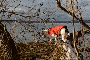 Petey climbing trees