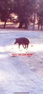 Wild boar taken down by rapid reticle scope