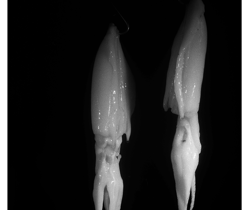 Still Life – Cuttlefishes, 2009