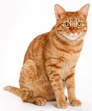 Orange Cat Pictures : orange, pictures, Orange, Phenomenon, Canadian, Price, Variants), Comics