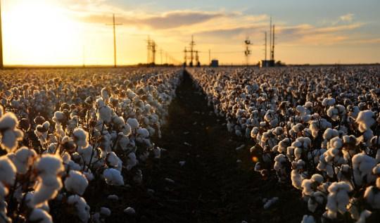 Cotton Harvest by Kimberly Vardeman, vi Flickr