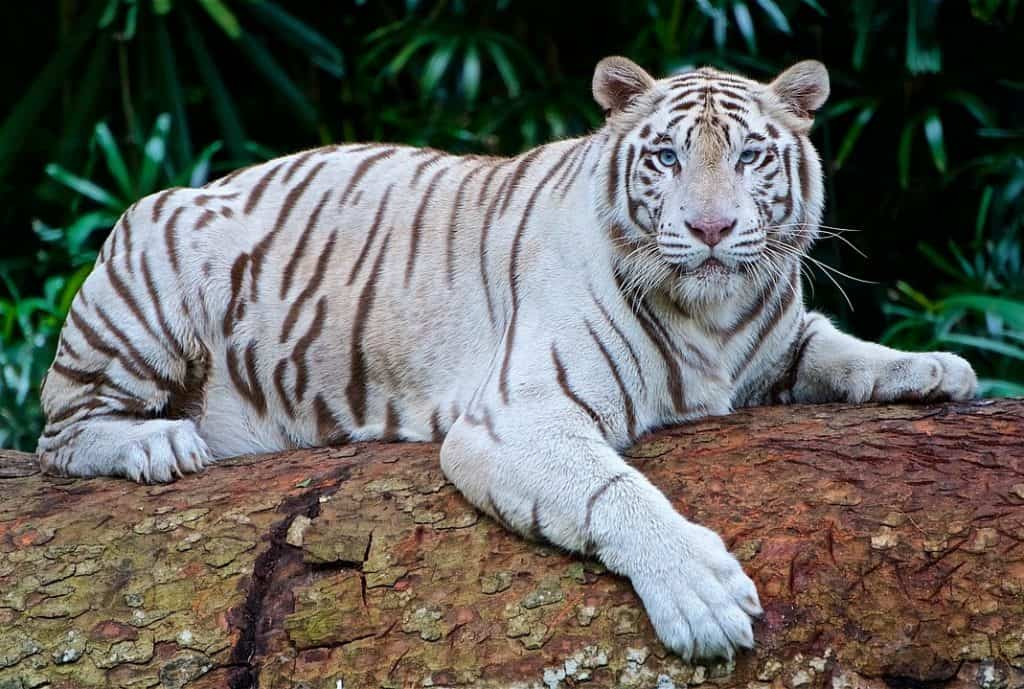 6 Rarest Tiger Species In The World Rarest Org