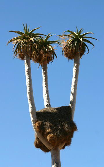 Aloe Pillansii Rare Succulents Nursery