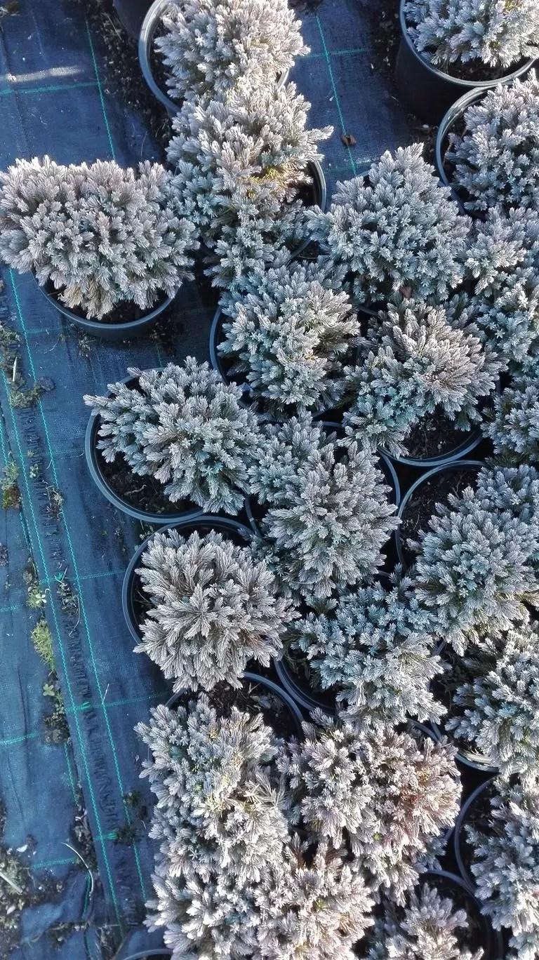 Juniprus squamata blue star